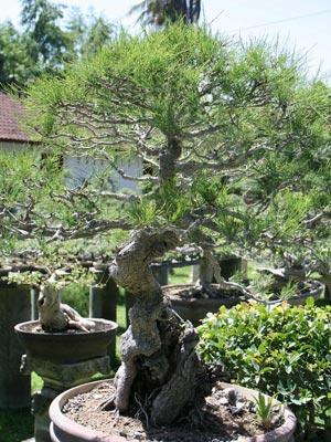 Fotografías de bonsáis