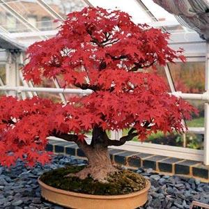Riegos en los bonsáis