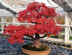 Cuidados de bonsáis: Riegos