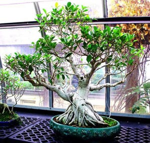 Ficus. Bonsáis