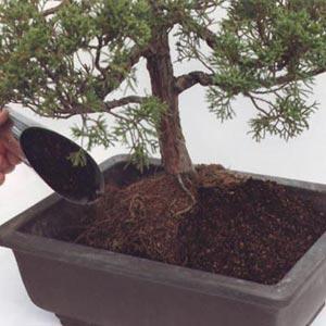 Trasplantar un bonsái