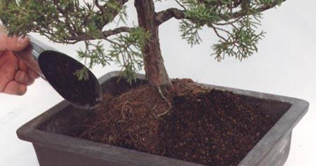 Cuidados de bonsáis: Trasplante